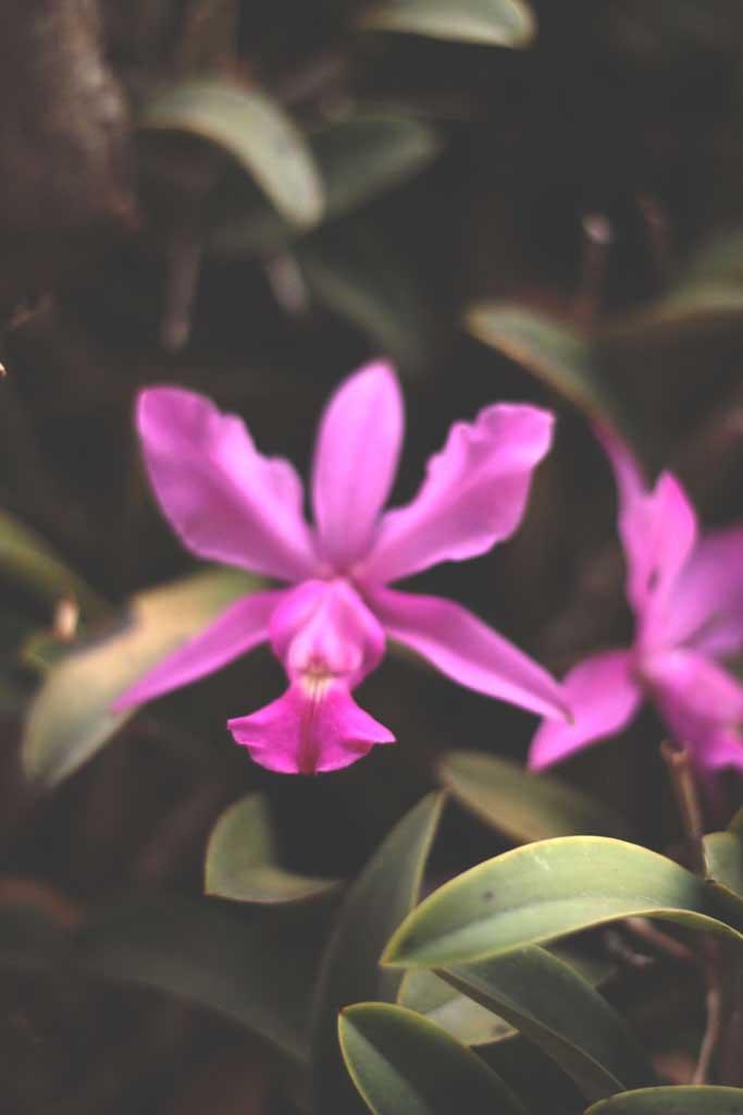 Orquídea rocinha