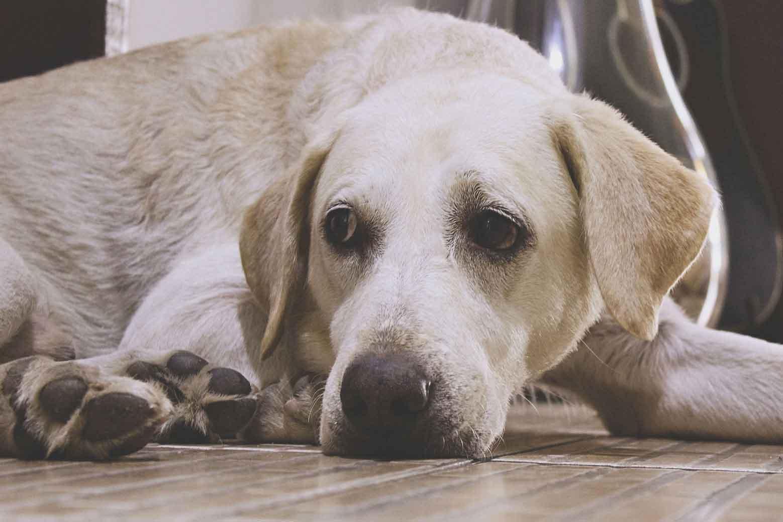 Labrador após um banho