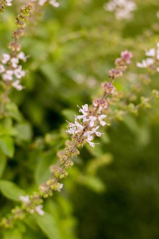 Flores do manjericão