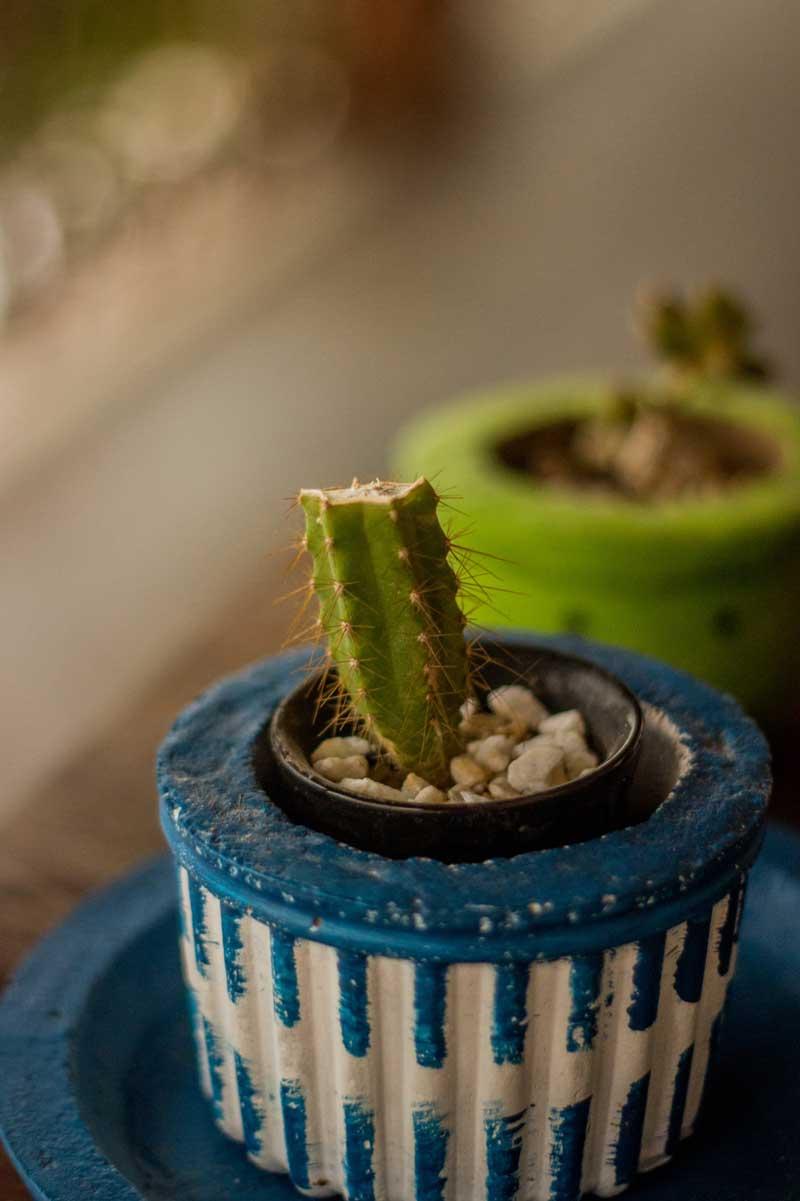 Cactus quebrado