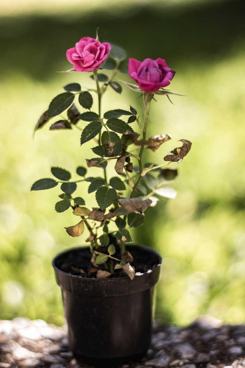 Fotografando uma mini rosa